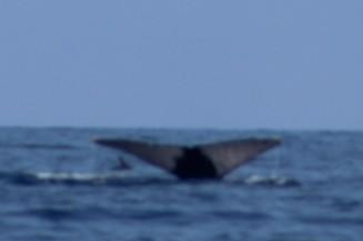 whale 7